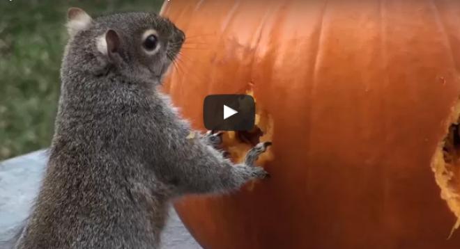 Mit csinál egy mókus egy sütőtökkel? Nem fogod kitalálni!