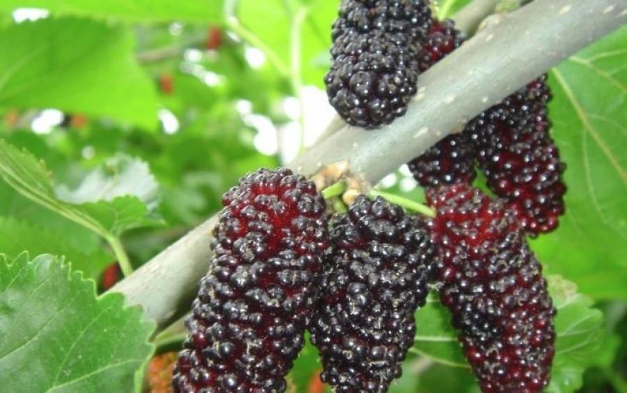 Van, aki meg sem meri enni, pedig az egyik legegészségesebb magyar gyümölcs!