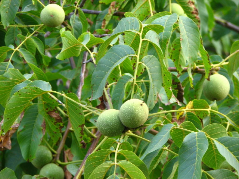 Így hasznosítsd a diófa levelét - számos betegség kiváló ellenszere, de a kiskertben is hasznos